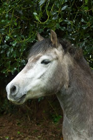 a portrait of a grey horse looking alert with his ears forwards, standing in front of some holly branches. Stock Photo