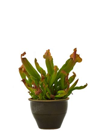 an isolated on white, hybred pitcher carnivorous plant (Sarracenia) Standard-Bild