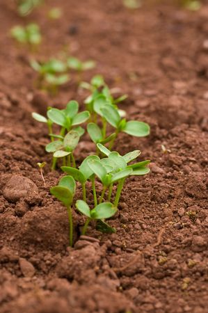Young seedlings growing n a field of rich red soil, point of focus intentionally to the middle of image. Stock Photo