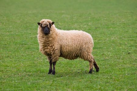 a Clun Forest breed of sheep standing alone in a field of lush green fresh grass on a summers morning.