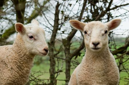 A close up image of two young spring twin lambs one looking ahead and the other to the side.