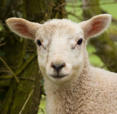a portrait image of a very young spring lamb with blurred background. Stock Photo
