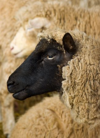 a profile portrait of a Cambridge dark faced breed os sheep, within a mixed herd. photo