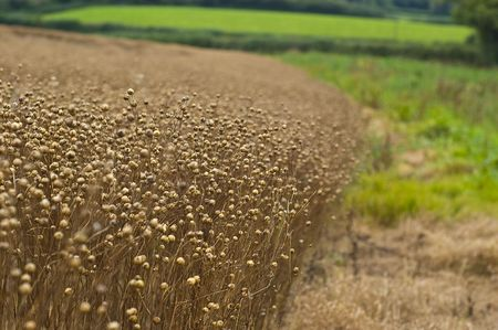 an image of the side of a field of ruined Flax crop caused by the bad English summer, also blamed on global warming and climate change. Flax crop is used in the production of linseed oil amoungst other things. photo