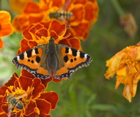 a small Tortoiseshell Butterfly (Nymphalis urticae or Aglais urticae) and Honey Bees collecting nectar from French Marigolds  Stock Photo