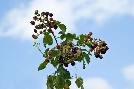 an image of  bramble fruit or blackberries from flowers through green raw to completely rotten on a summer sky background. The reasons being blamed on climate change and global warming. Standard-Bild