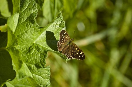 a small speckled wood butterfly sat on some green hairy leaves in the sun.