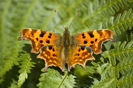 an image of a comma butterfly sat resting on fern leaves. point of focus on the head and forewings. Stock Photo