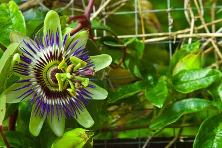 an image of the beautiful Passion flower in full bloom with blurred leaf background.