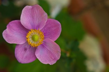 a close up image of the pink variety of the anemone (Anemone coronaria) flower, showing in detail the stamen,pistils,pollen and vains running through the petals.