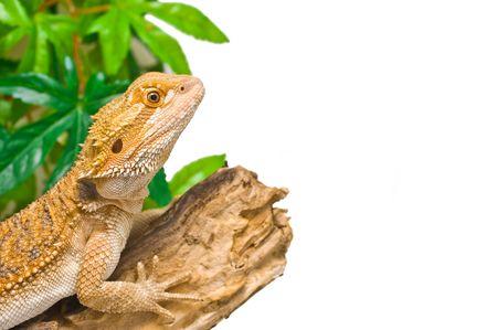 an image of a juvenile  male citrus x sandfire bearded dragon (Pogona vitticeps)