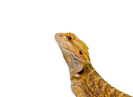 an isolated for ease of use, Sandfire x Citrus Bearded Dragon (Pogona Vitticeps) Stock Photo