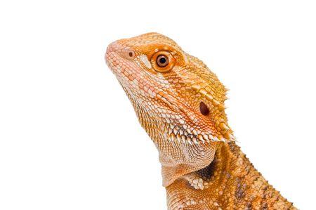 an isolated portrait of a bearded dragon (pogona vitticeps) sandfire x citrus variety