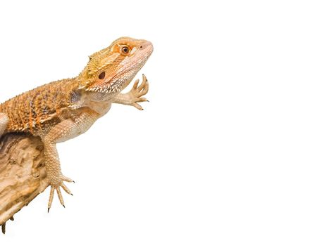 an isolated image of a bearded dragon in an unusual position