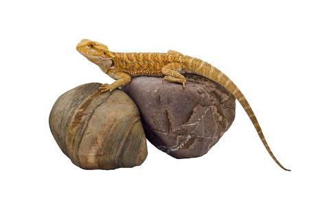 an isolated image of a bearded dragon (pogona vitticeps)  sandfire x citrus sitting on top some rocks basking.