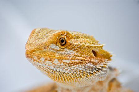 a close up portrait of a sandfire cross citrus bearded dragon (pogona vitticeps) Stock Photo