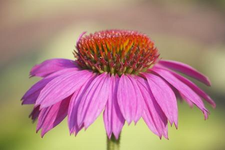 echinacea: Echinacea