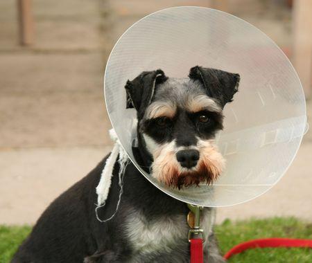 operative: post operative dog