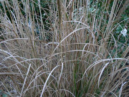 gramineas: los pastos de invierno