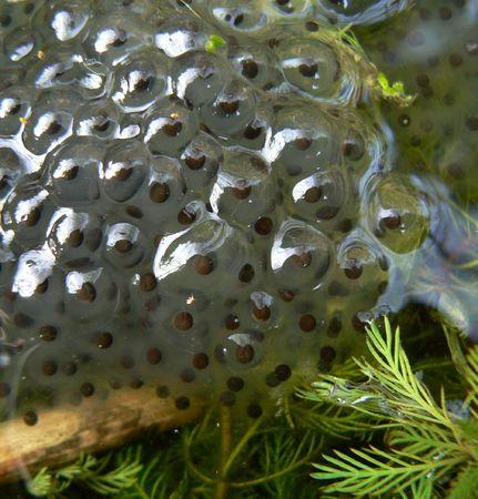 frogspawn Stock Photo