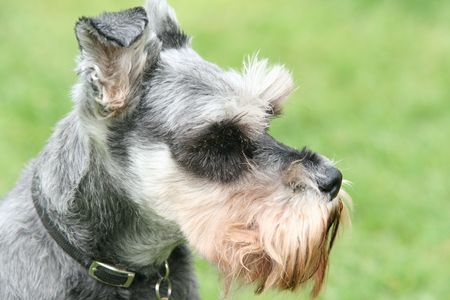 miniature schnauzer Stock Photo - 865426