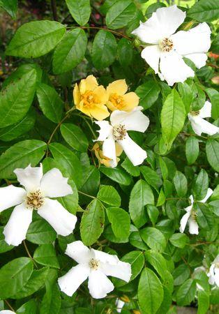 두서없는: rambling rose 스톡 사진