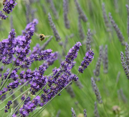lavender Stock Photo - 1192817