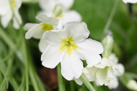 white polyanthus Stock Photo - 2709182