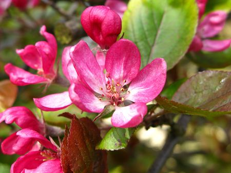 crab apple blossom photo