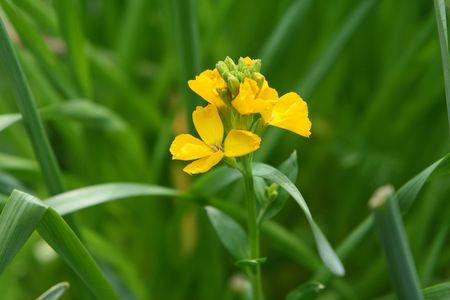 wallflower: yellow wallflower Stock Photo