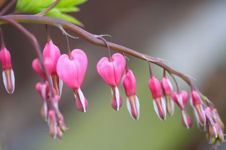 dicentra Stock Photo - 3005916