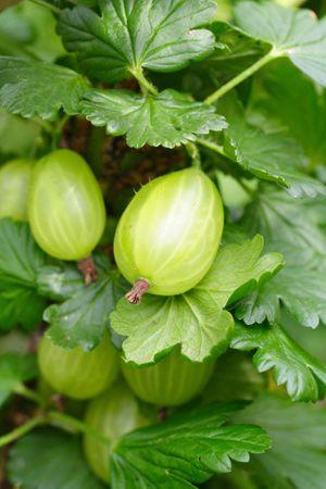 grosella: maduras gooseberry