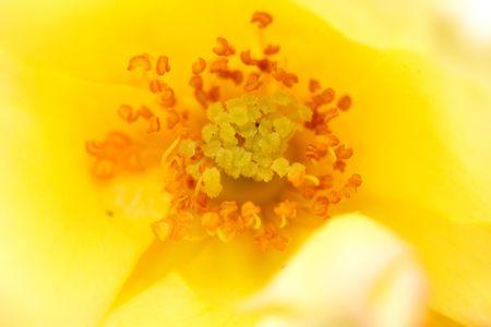 yellow rose Stock Photo - 3331501