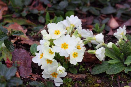 white polyanthus photo