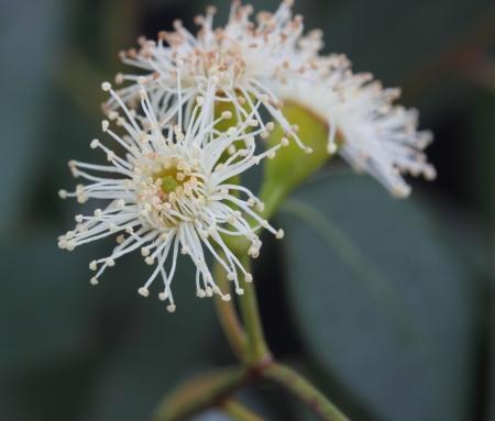 eucalyptus tree flower Stock Photo