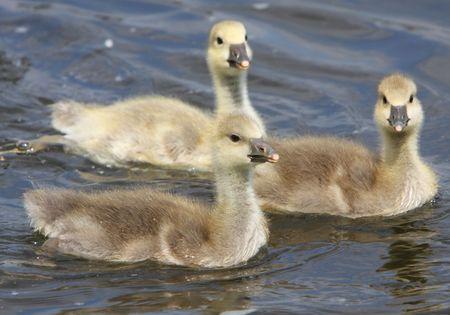 goslings photo