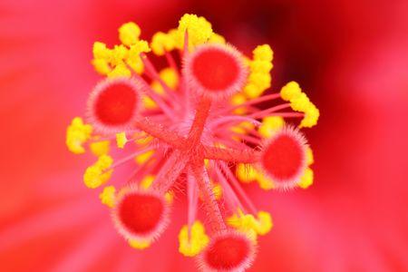 stami: Hibiscus stami Archivio Fotografico