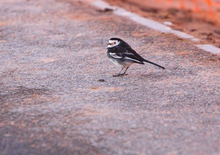 pied: pied wagtail Stock Photo