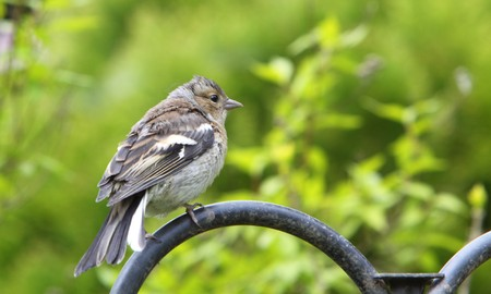juvenile: juvenile chaffinch