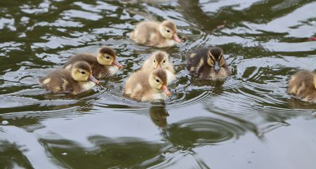 ducklings Stock Photo - 7082853