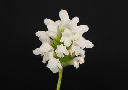 vulgaris: Prunella vulgaris