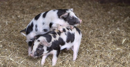 Kune Kune Pigs Stock Photo
