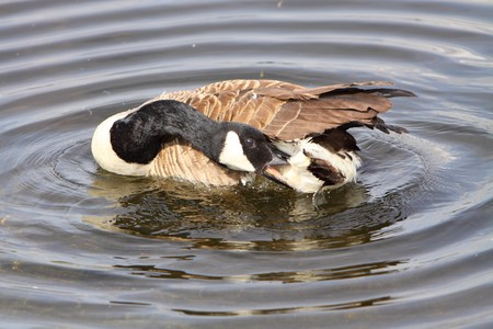 preening: canada goose preening