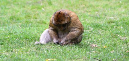 macaque: Magot