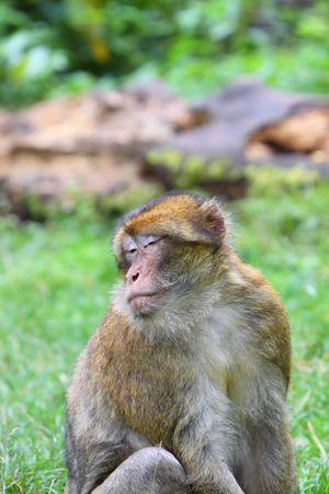 macaque: Barbary macaque Stock Photo