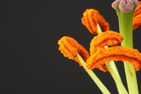 stamens: lily stamens Stock Photo