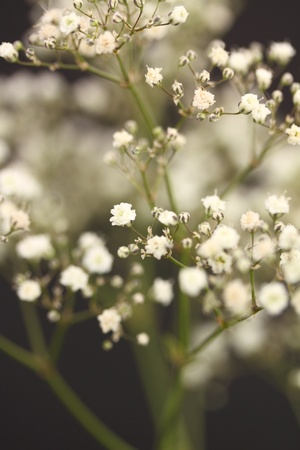 gypsophila with shallow depth of field on a black background