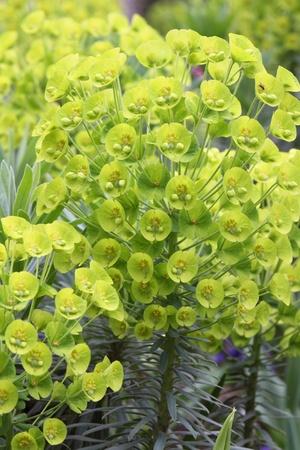 Euphorbia Stock Photo - 9416747