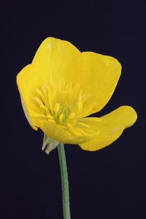 buttercup flower: A buttercup flower on a black background