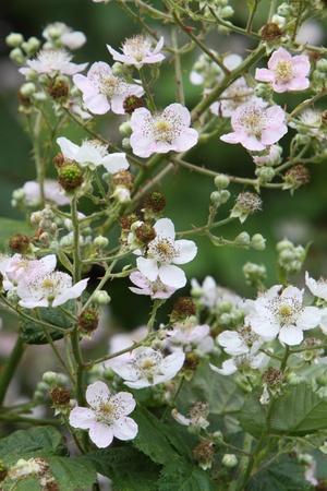 blackberry flowers Stock Photo
